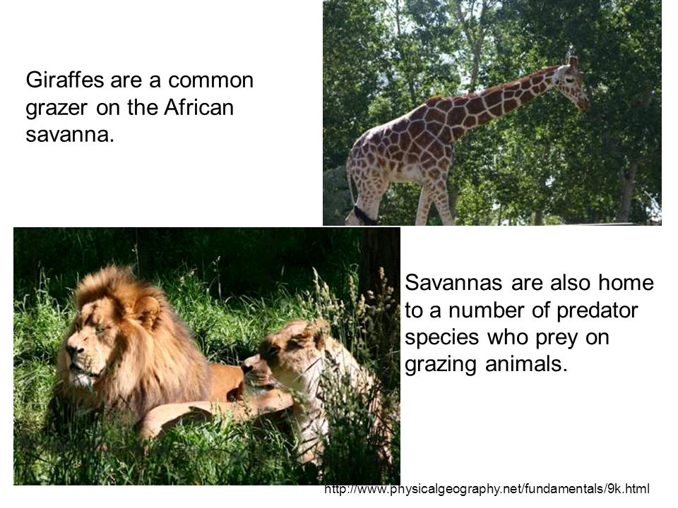 Giraffes are a common grazer on the African savanna.