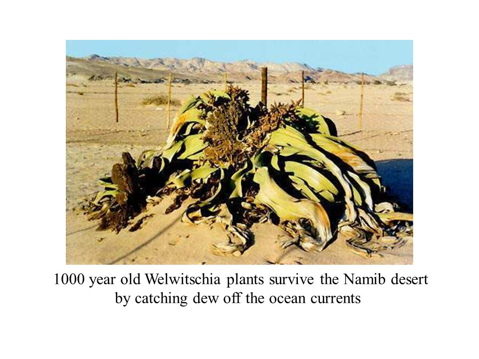 1000 year old Welwitschia plants survive the Namib desert by catching dew off the ocean currents