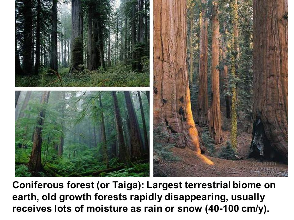 Coniferous forest (or Taiga): Largest terrestrial biome on earth, old growth forests rapidly disappearing, usually receives lots of moisture as rain or snow (40-100 cm/y).