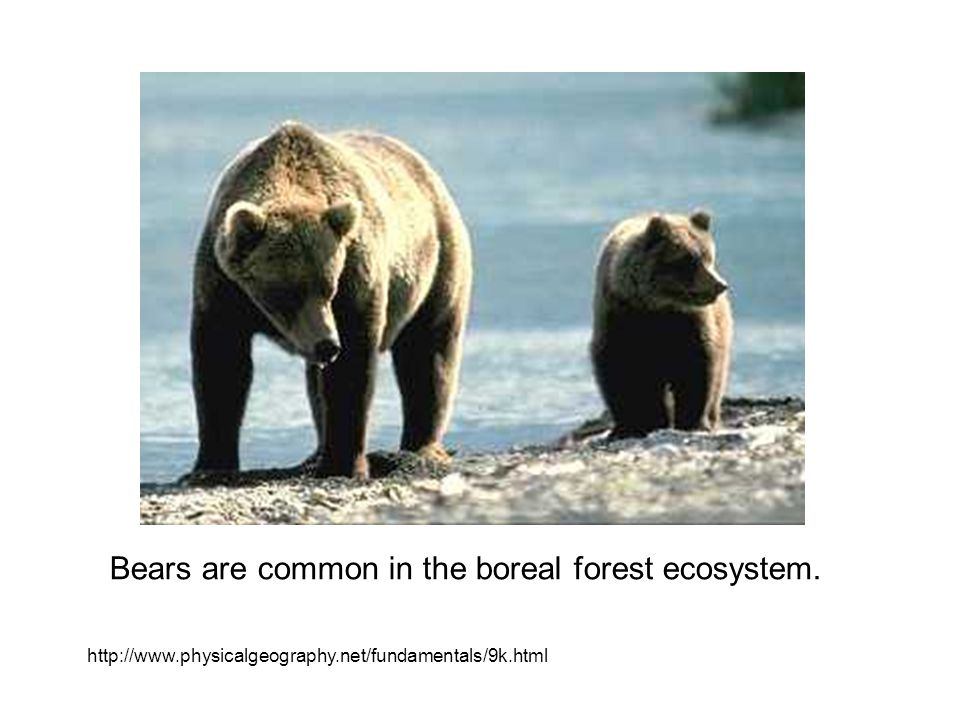 Bears are common in the boreal forest ecosystem.