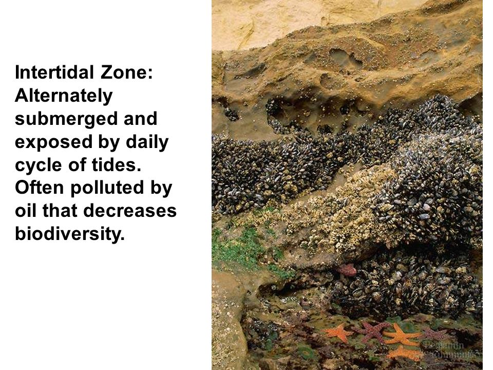 Intertidal Zone: Alternately submerged and exposed by daily cycle of tides.
