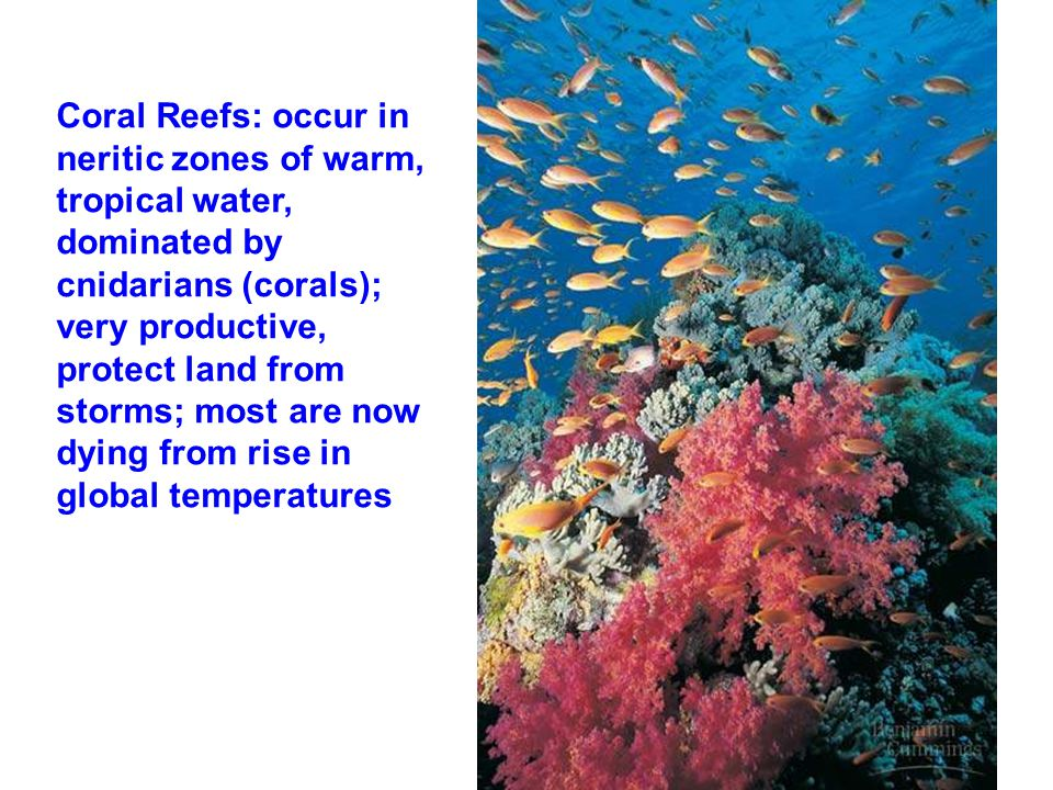 Coral Reefs: occur in neritic zones of warm, tropical water, dominated by cnidarians (corals); very productive, protect land from storms; most are now dying from rise in global temperatures