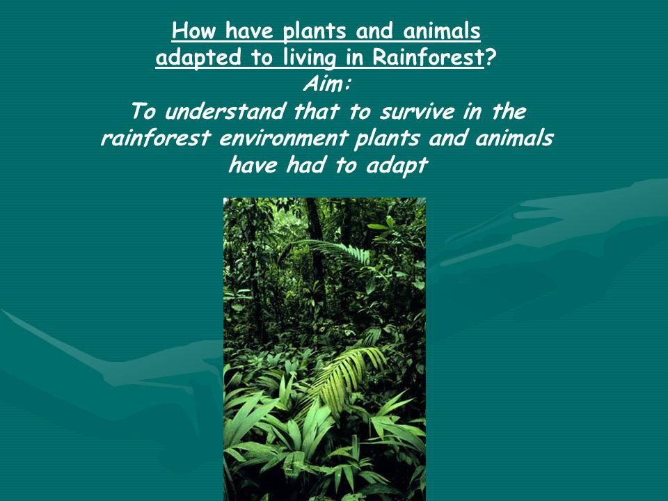 How have plants and animals adapted to living in Rainforest Aim: