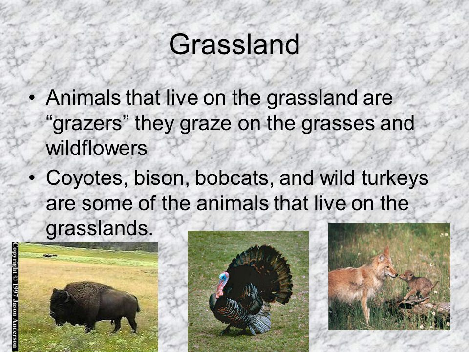 Grassland Animals that live on the grassland are grazers they graze on the grasses and wildflowers.
