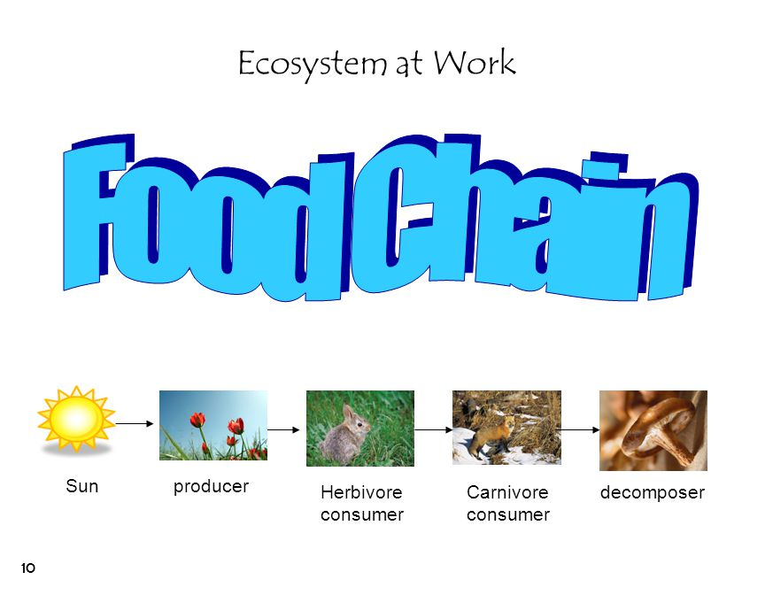 Food Chain Ecosystem at Work Sun producer Herbivore consumer Carnivore