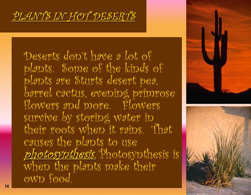 PLANTS IN HOT DESERTS