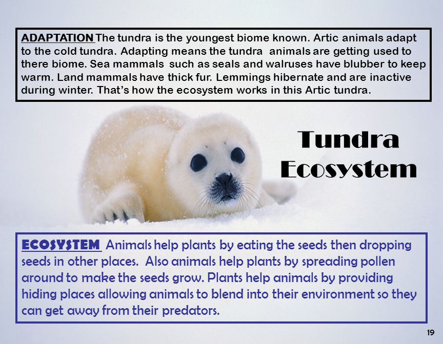 ADAPTATION The tundra is the youngest biome known