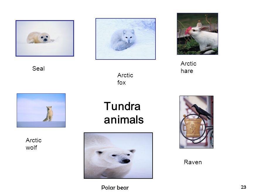 Tundra animals Arctic hare Seal Arctic fox Arctic wolf Raven