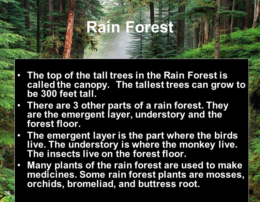 Rain Forest The top of the tall trees in the Rain Forest is called the canopy. The tallest trees can grow to be 300 feet tall.