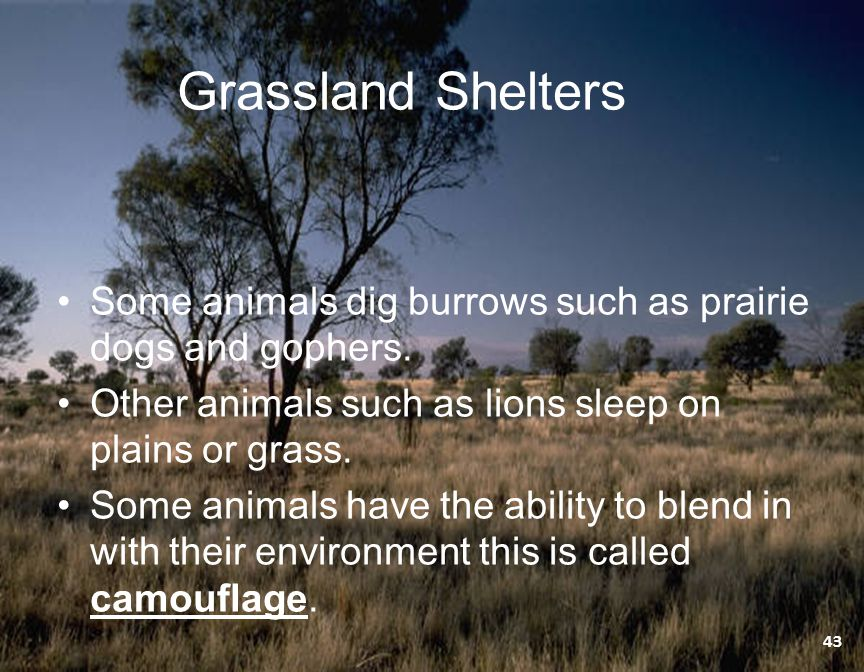 Grassland Shelters Some animals dig burrows such as prairie dogs and gophers. Other animals such as lions sleep on plains or grass.