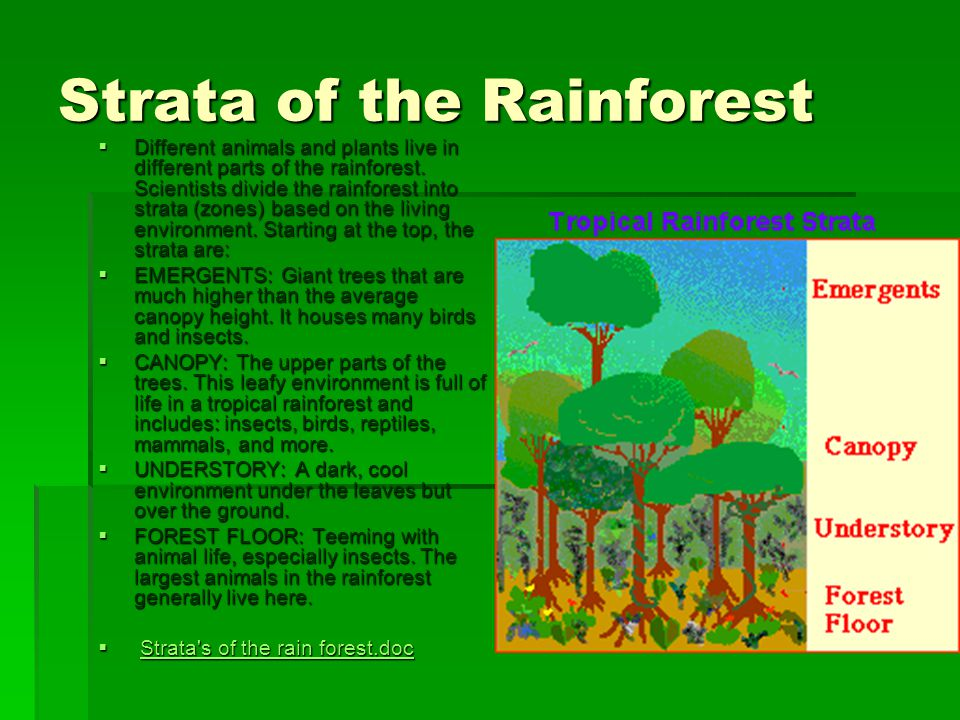 Strata of the Rainforest