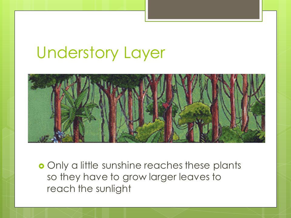 Understory Layer Only a little sunshine reaches these plants so they have to grow larger leaves to reach the sunlight.
