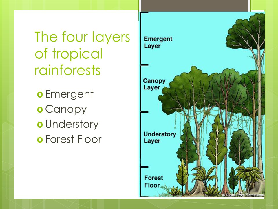 The four layers of tropical rainforests