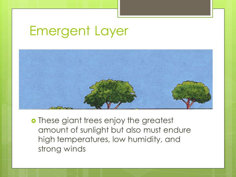 Emergent Layer These giant trees enjoy the greatest amount of sunlight but also must endure high temperatures, low humidity, and strong winds.