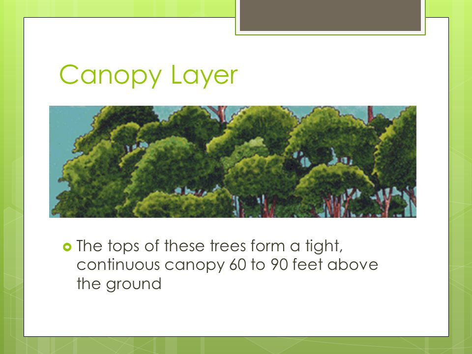 Canopy Layer The tops of these trees form a tight, continuous canopy 60 to 90 feet above the ground