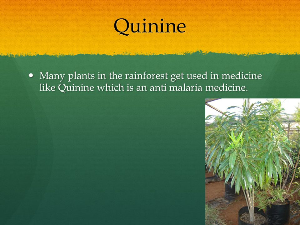 Quinine Many plants in the rainforest get used in medicine like Quinine which is an anti malaria medicine.