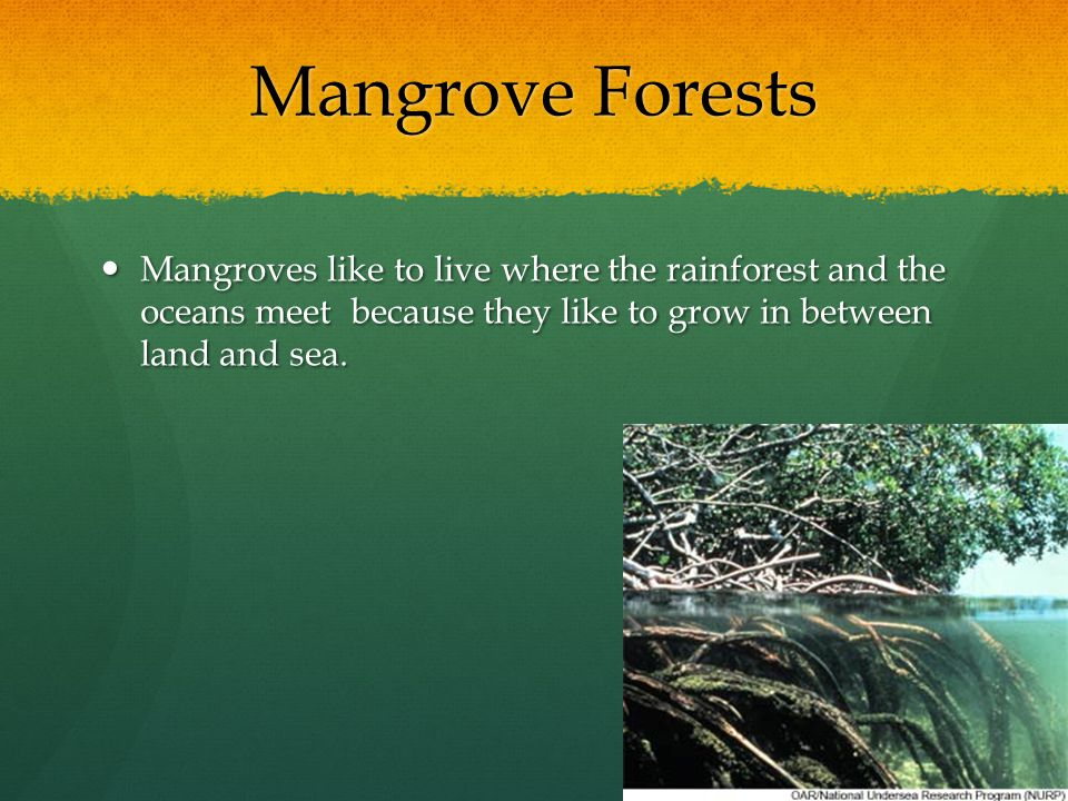 Mangrove Forests Mangroves like to live where the rainforest and the oceans meet because they like to grow in between land and sea.