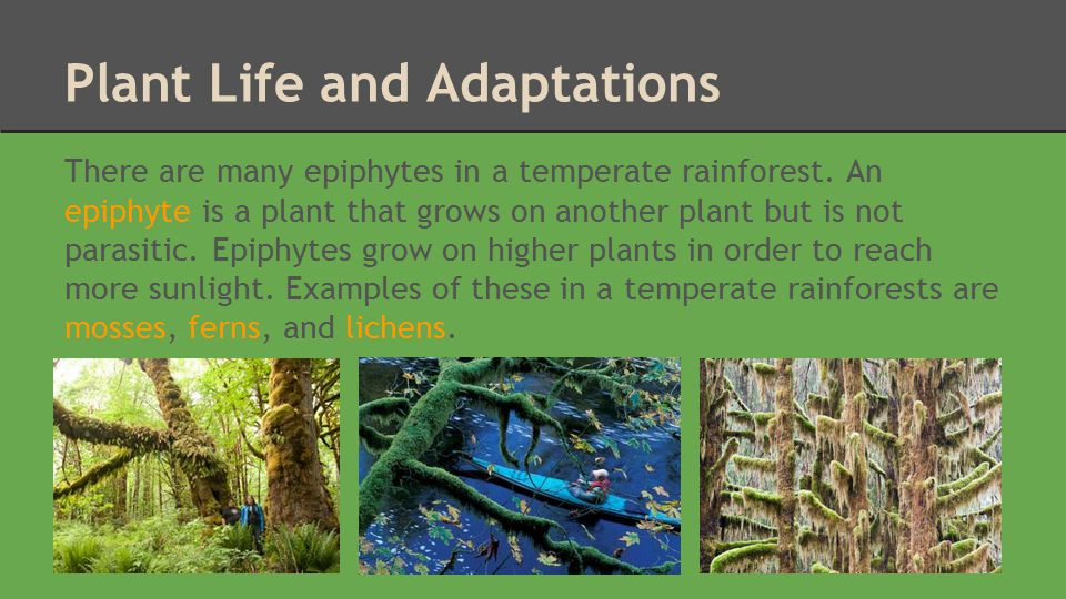 Temperate Rainforest Victoria Neufeld Ppt Download