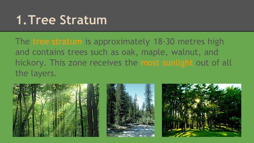 Tree Stratum