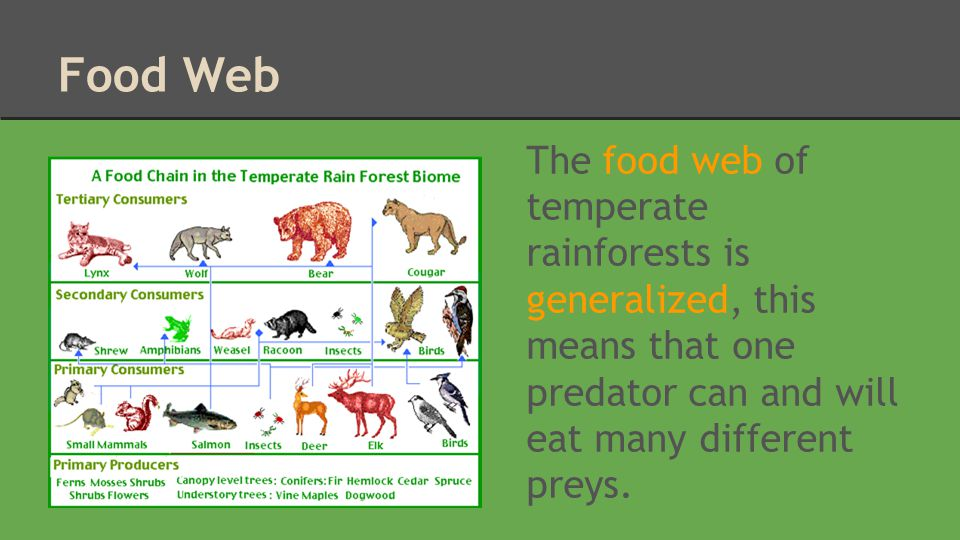 Food Web The food web of temperate rainforests is generalized, this means that one predator can and will eat many different preys.