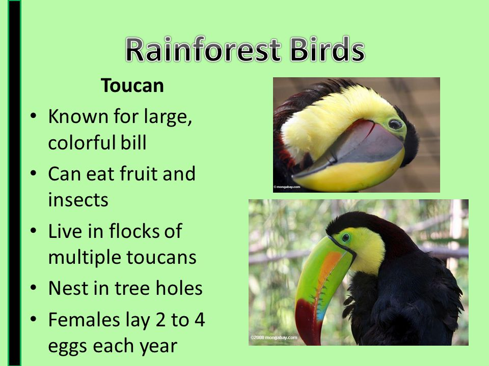Rainforest Birds Toucan Known for large, colorful bill