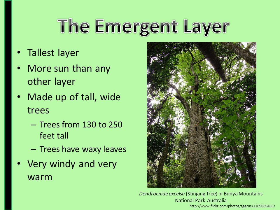 The Emergent Layer Tallest layer More sun than any other layer