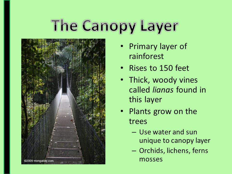 The Canopy Layer Primary layer of rainforest Rises to 150 feet  sc 1 st  SlidePlayer & The Rainforest - ppt video online download