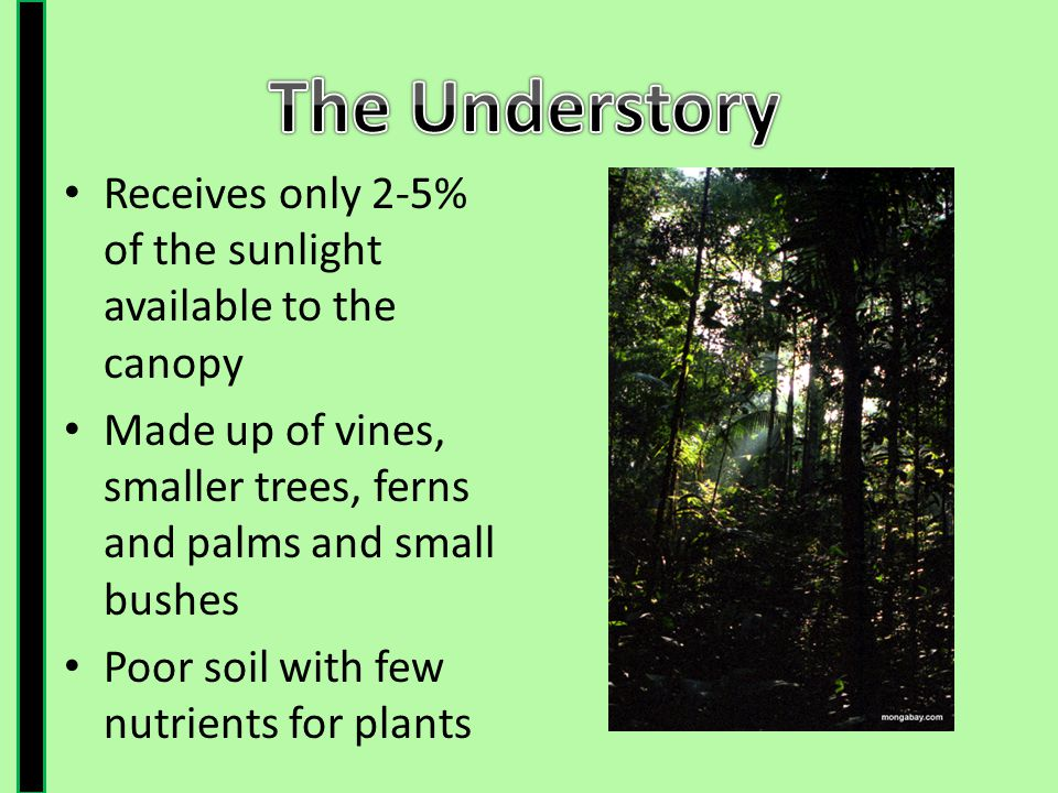 The Understory Receives only 2-5% of the sunlight available to the canopy. Made up of vines, smaller trees, ferns and palms and small bushes.