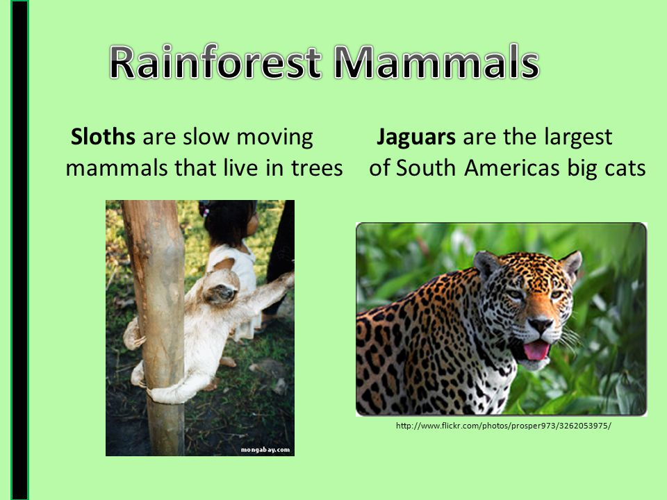 Rainforest Mammals Sloths are slow moving mammals that live in trees