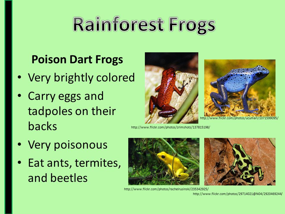 Rainforest Frogs Poison Dart Frogs Very brightly colored
