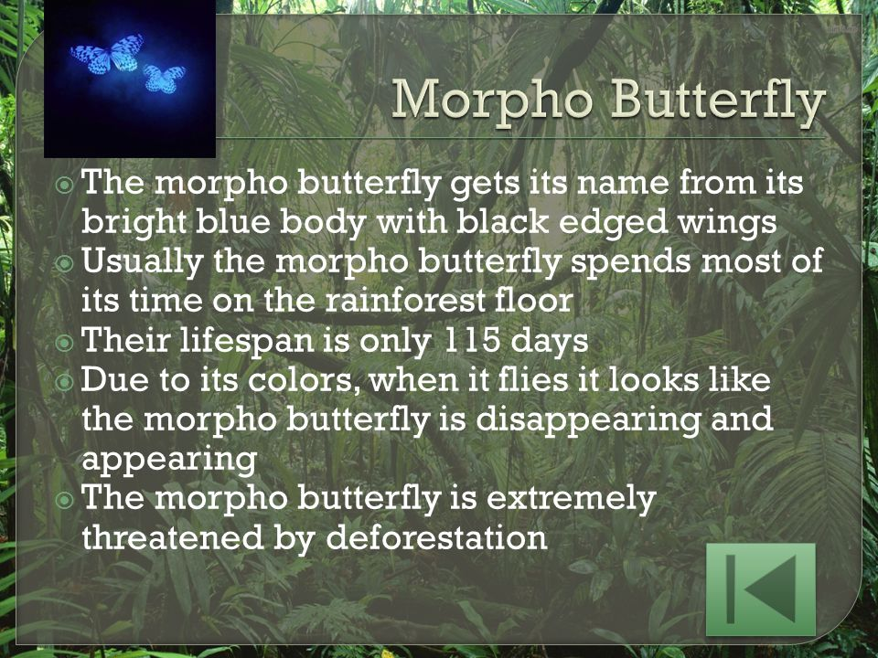 Morpho Butterfly The morpho butterfly gets its name from its bright blue body with black edged wings.