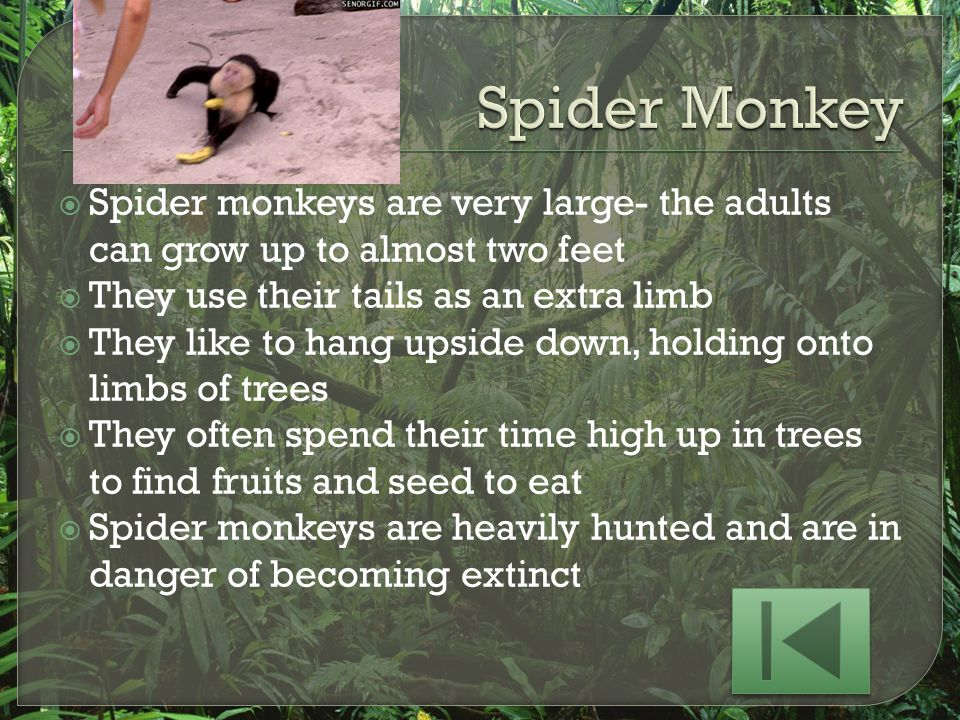Spider Monkey Spider monkeys are very large- the adults can grow up to almost two feet. They use their tails as an extra limb.