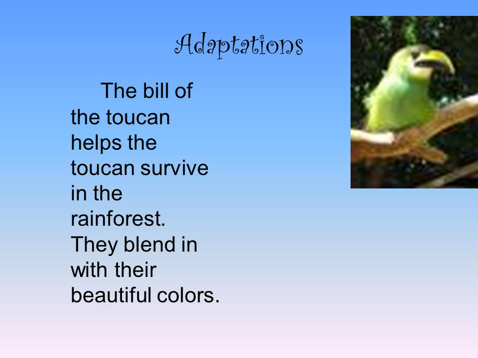 Adaptations The bill of the toucan helps the toucan survive in the rainforest.