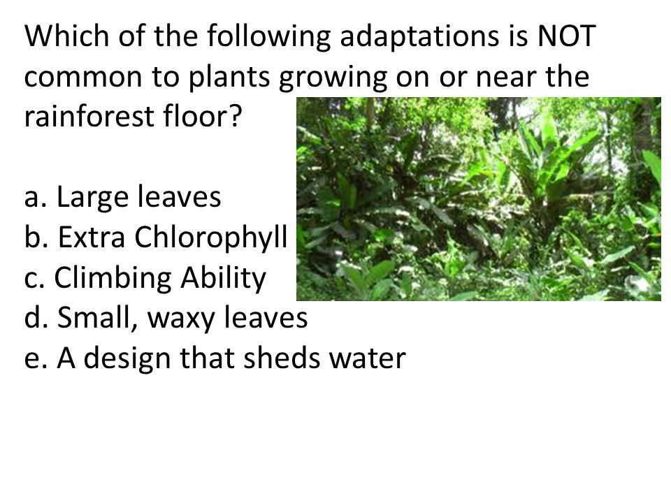 Which of the following adaptations is NOT common to plants growing on or near the rainforest floor