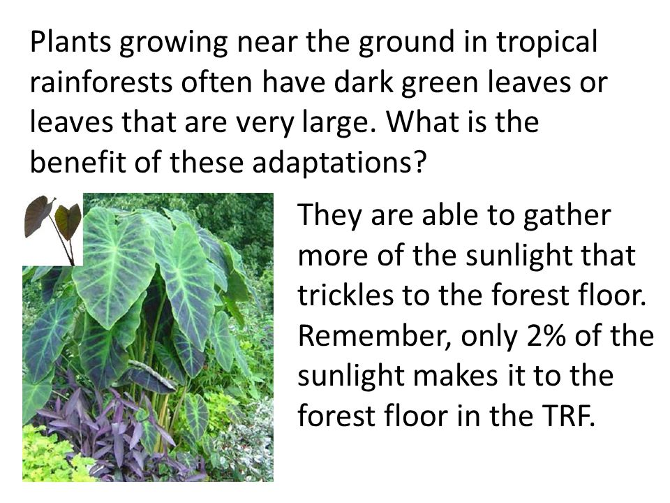 Plants growing near the ground in tropical rainforests often have dark green leaves or leaves that are very large. What is the benefit of these adaptations