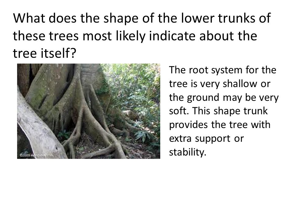 What does the shape of the lower trunks of these trees most likely indicate about the tree itself