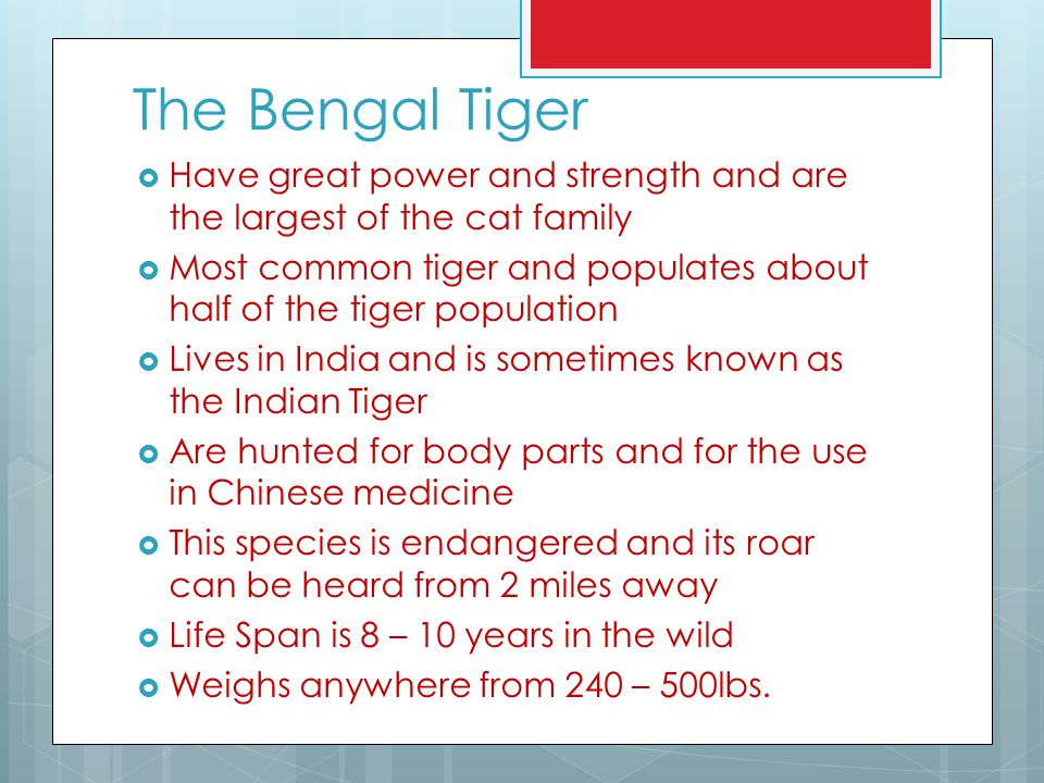 The Bengal Tiger Have great power and strength and are the largest of the cat family.