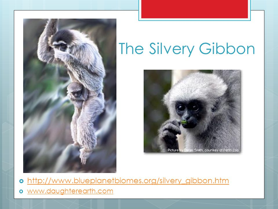 The Silvery Gibbon http://www.blueplanetbiomes.org/silvery_gibbon.htm
