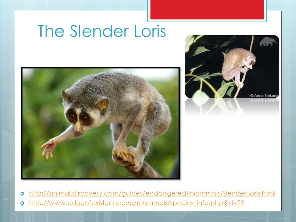 The Slender Loris http://animal.discovery.com/guides/endangered/mammals/slender-loris.html.