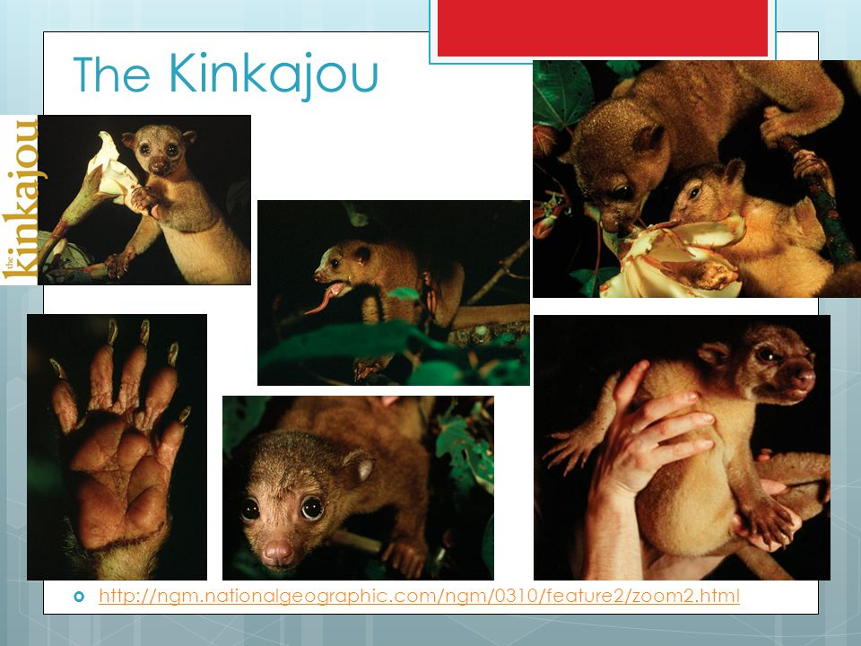The Kinkajou http://ngm.nationalgeographic.com/ngm/0310/feature2/zoom2.html