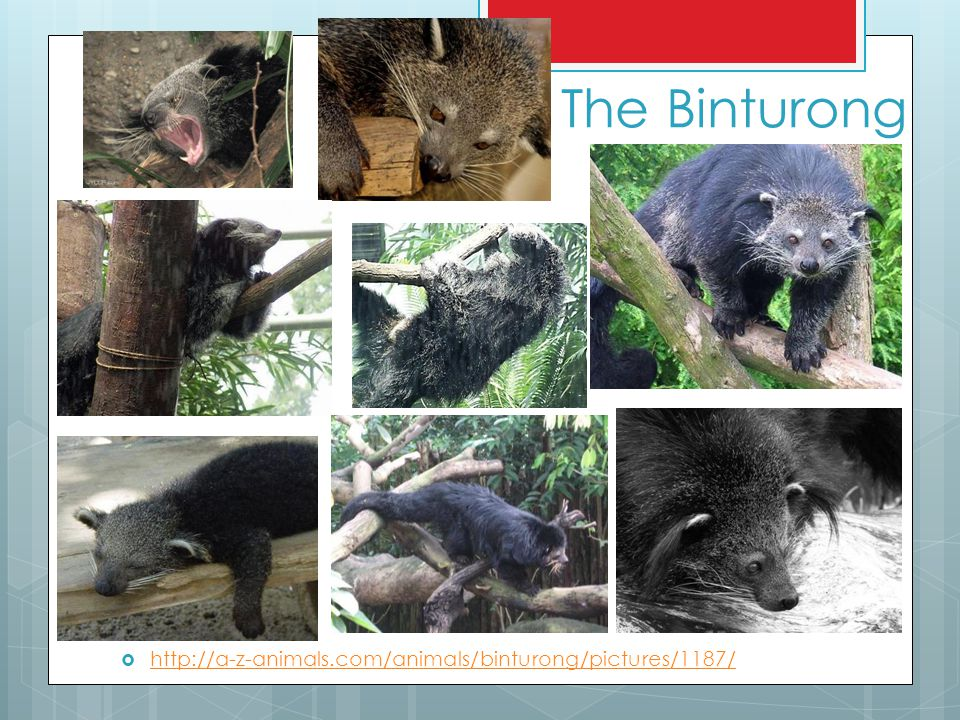 The Binturong http://a-z-animals.com/animals/binturong/pictures/1187/