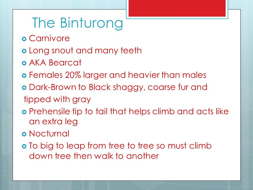 The Binturong Carnivore Long snout and many teeth AKA Bearcat