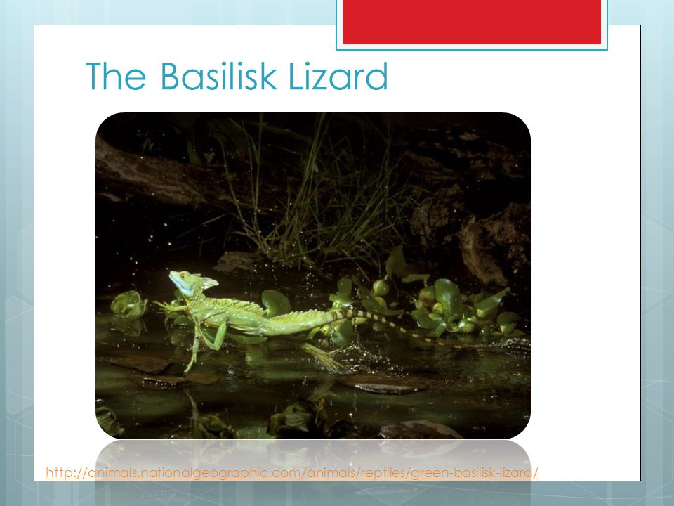 The Basilisk Lizard http://animals.nationalgeographic.com/animals/reptiles/green-basilisk-lizard/