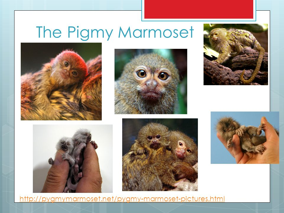 The Pigmy Marmoset http://pygmymarmoset.net/pygmy-marmoset-pictures.html