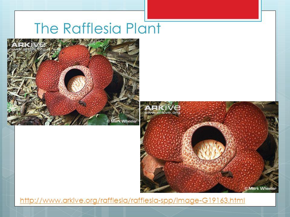 The Rafflesia Plant http://www.arkive.org/rafflesia/rafflesia-spp/image-G19163.html