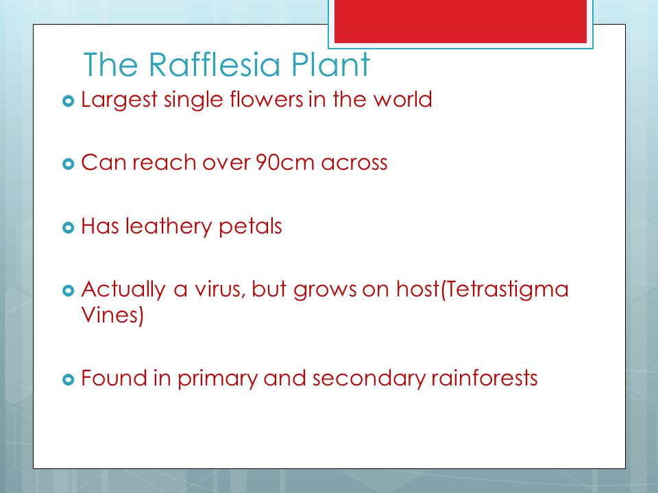 The Rafflesia Plant Largest single flowers in the world
