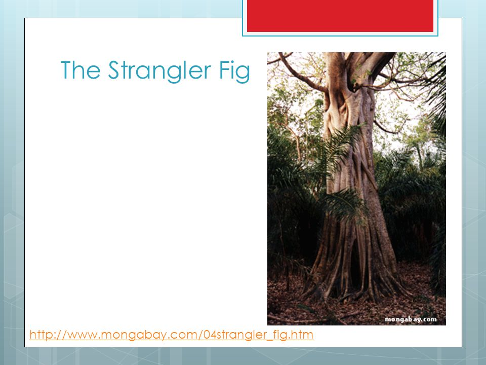 The Strangler Fig http://www.mongabay.com/04strangler_fig.htm