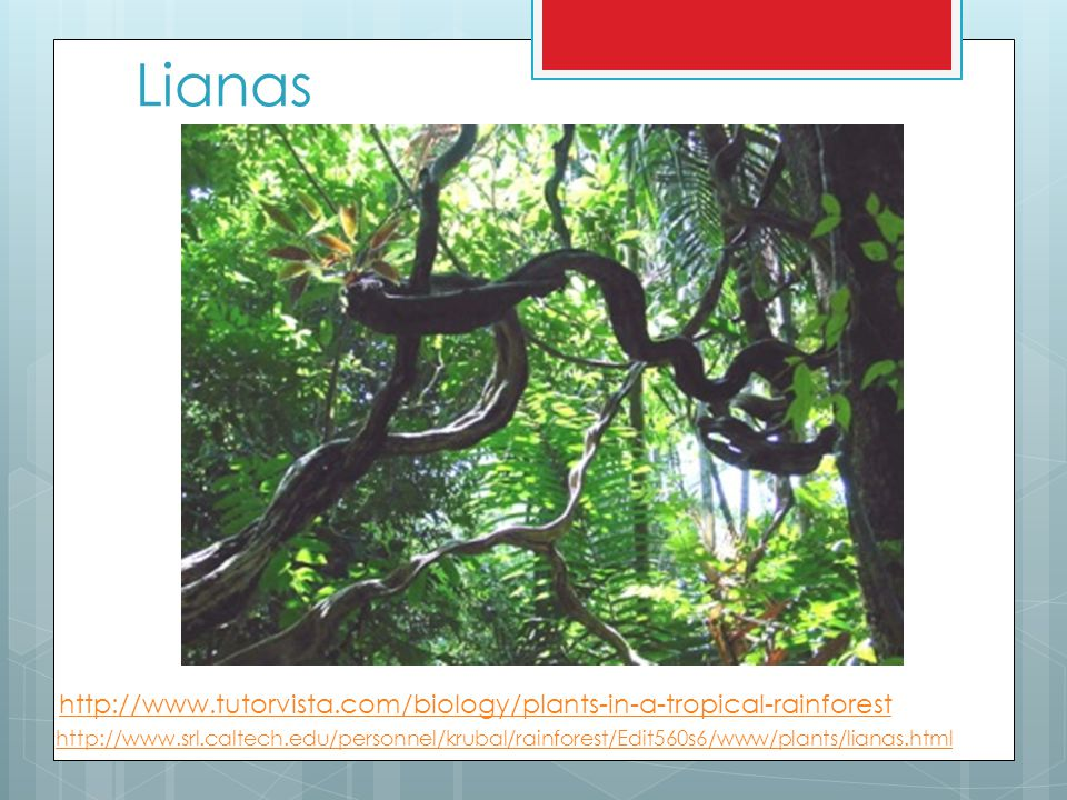 Lianas http://www.tutorvista.com/biology/plants-in-a-tropical-rainforest.