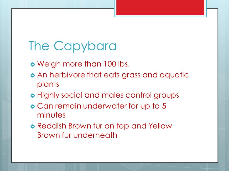 The Capybara Weigh more than 100 lbs.