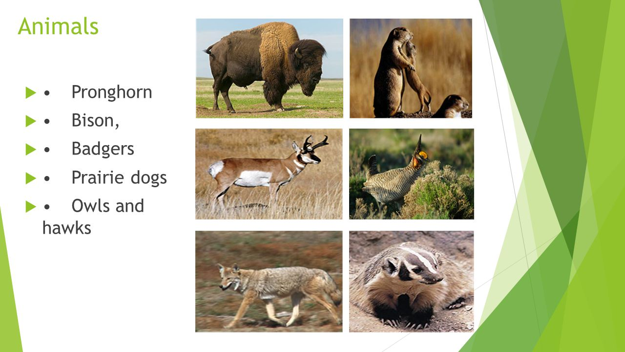 Animals • Pronghorn • Bison, • Badgers • Prairie dogs • Owls and hawks